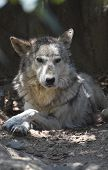 Great Look At A Beautiful Tundra Wolf Resting. poster