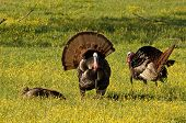 picture of wild turkey  - Photograph of several beautiful wild turkeys in a spring meadow in the Appalachian mountains - JPG
