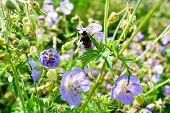 Beautiful Flower Of Meadow Geranium - Geranium Pratense. Beautiful Nature Scene With Blooming Medica poster