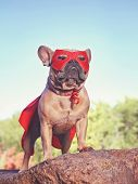 cute french bulldog in a super hero costume  toned with a retro vintage instagram filter   poster