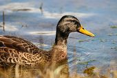 A Mallard Drake Moulting His Plumage At The End Of Summer poster