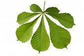 Leaf,chestnut, White, Background, Isolated, Green, Natural, Plant, Leaves, Color, Botanical, Foliage poster