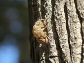 picture of exoskeleton  - An Exoskeleton Discarded by a Cicada Nymph Molting to the Adult - JPG