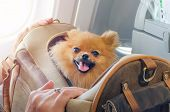 Small Dog Pomaranian Spitz In A Travel Bag On Board Of Plane poster
