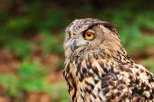 Owls Are Birds From The Order Strigiformes, Which Includes About 200 Species Of Mostly Solitary And  poster