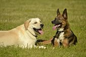 Sunstroke, Health Of Pets In The Summer. Labrador. Dogs Play With Each Other. How To Protect Your Do poster