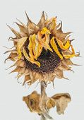 stock photo of sag  - Dead sunflower - JPG