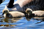 image of mother goose  - Two young Canadian gooselings swimming along side their mother - JPG