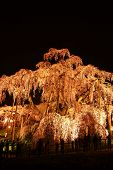 pic of fukushima  - Illuminated cherry tree Nema is MiharuTakizakura Fukushima Japan - JPG