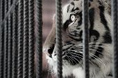 stock photo of solemn  - Captive tiger behind cage with a solemn face - JPG