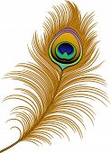 pic of peahen  - Peacock Feather over white - JPG