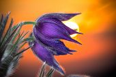 Purple pasque flowers during sunset