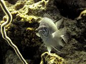 pic of damselfish  - A pale damselfish hovers - JPG