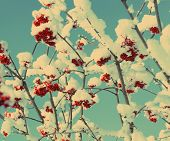 red ash-berry under snow at winter - vintage retro style