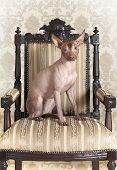 picture of mexican-dog  - Portrait of Mexican xoloitzcuintle dog posing on an antique chair - JPG
