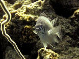 picture of damselfish  - A pale damselfish hovers - JPG
