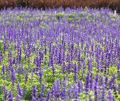foto of blue-salvia  - Meadow with blooming Blue Salvia herbal flowers - JPG