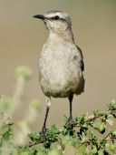 stock photo of mockingbird  - A Patagonian Mockingbird perched on a branch  - JPG