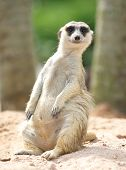 picture of meerkats  - lovely meerkat standing and looking out at zoo - JPG