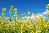 pic of rape-seed  - Rape seed flowers at a blue sky with white clouds - JPG