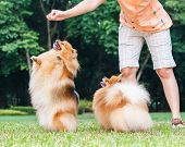 foto of pomeranian  - Pomeranian dog standing on its hind legs to get a treat from owner - JPG