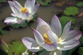stock photo of lillies  - Pink water lilly - detail of a beautiful water lotos in bloom