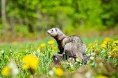 foto of ferrets  - adorable ferret pet walking outdoors in summer - JPG