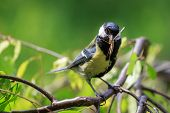 pic of great tit  - Great Tit (Parus major) carrying mosquito in beak.