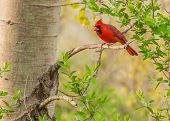picture of songbird  - A Male Cardinal perched on a tree branch - JPG