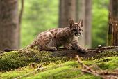 stock photo of mountain lion  - Puma concolor called mountain lion in forest - JPG