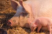 stock photo of piglet  - piglets with a pig in the paddok - JPG