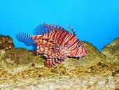 picture of venom  - Tropical Lionfish Pterois is a beautiful but very dangerous and venomous exotic fish  - JPG