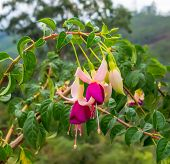 pic of pompous  - blossoming beautiful branch of colorful fuchsia in nature India closeup - JPG