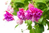 pic of opulence  - blossoming beautiful branch of delicate colorful fuchsia isolated on white background  - JPG