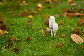 pic of toadstools  - Two shaggy Ink Cap Toadstools in wet autumn grass surrounded by fallen Beech leaves - JPG