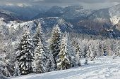 image of snowy hill  - Snowy pine trees on a winter landscape - JPG