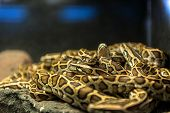 stock photo of adam eve  - Large pack of young snakes closeup photo  - JPG