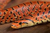 picture of rats  - The Japanese forest rat snake is a fossorial nonvenomous snake species found in Japan - JPG