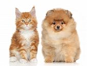 image of coon dog  - Spitz puppy and Ginger Maine Coon kitten posing on white background - JPG