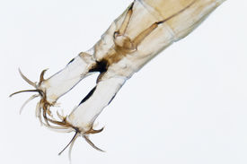 picture of gnat  - Micro photo - JPG
