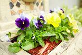 image of viola  - Beautiful viola flowers in the garden - JPG
