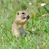 stock photo of prairie  - prairie dog in natural habitat - JPG
