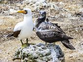 picture of booby  - Close up of masked Boobie at Galapagos island - JPG