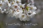 stock photo of fragile  - This is the blossoms of the Bradford pear tree - JPG