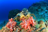 pic of hawksbill turtle  - Hawksbill Sea Turtle eating soft corals - JPG