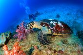 stock photo of hawksbill turtle  - Hawksbill Sea Turtle feeds on coral with people scuba diving in background - JPG