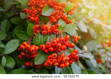 Постер, плакат: Berries Of Red Rowan, холст на подрамнике