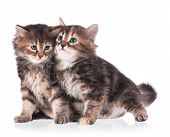 foto of scared baby  - Two scared cute siberian kittens isolated on white background - JPG