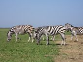picture of pastures  - The zebra pasturing in the grass in the national park Askania - JPG