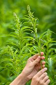 stock photo of willow  - hands gathering flowers of willow - JPG